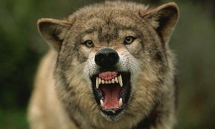 Волки в Свердловской области