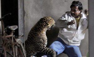 Леопард атакует